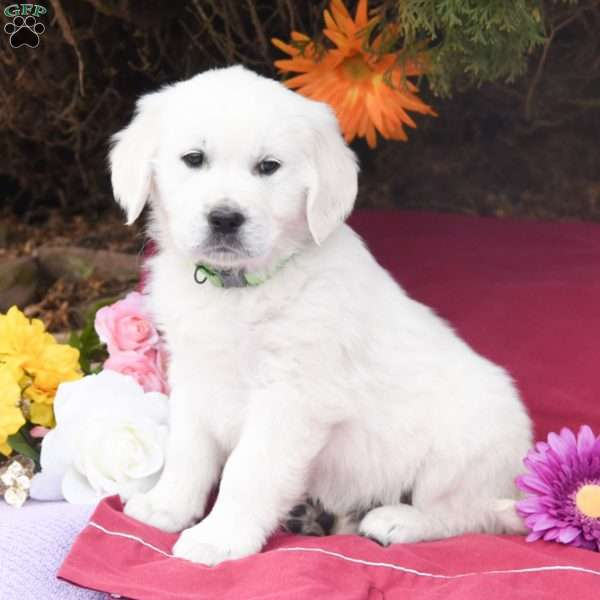Kent, English Cream Golden Retriever Puppy