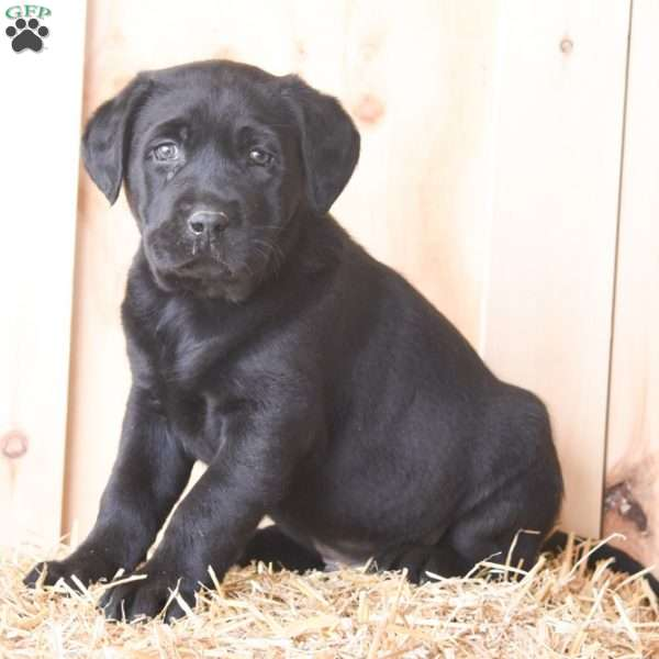 Konnor, Black Labrador Retriever Puppy