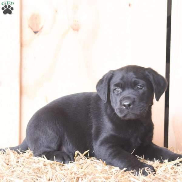 Kyle, Black Labrador Retriever Puppy