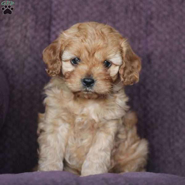 Lady Cavapoo Puppy For Sale In Virginia