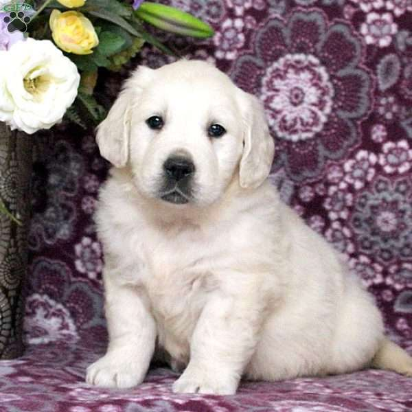 Orville, English Cream Golden Retriever Puppy