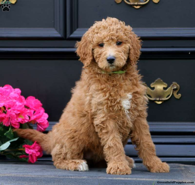 Pearl F1b Mini Goldendoodle Puppy For Sale In Pennsylvania
