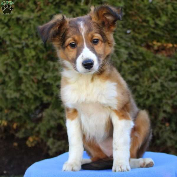 Stella Sheltie Mix Puppy For In