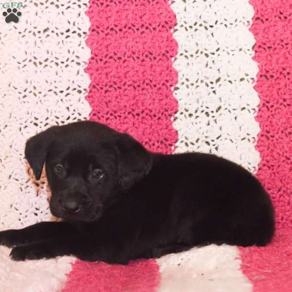 Tank, Black Labrador Retriever Puppy