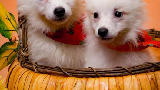 6 Things to Know About American Eskimo Puppies