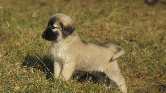 5 Things to Know About Anatolian Shepherd Puppies