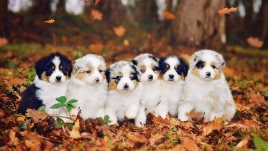 5 Things to Know About Australian Shepherd Puppies