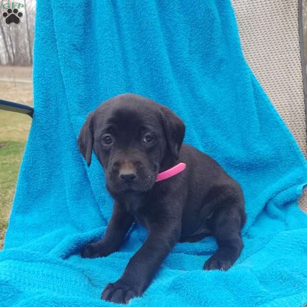Bella, Black Labrador Retriever Puppy