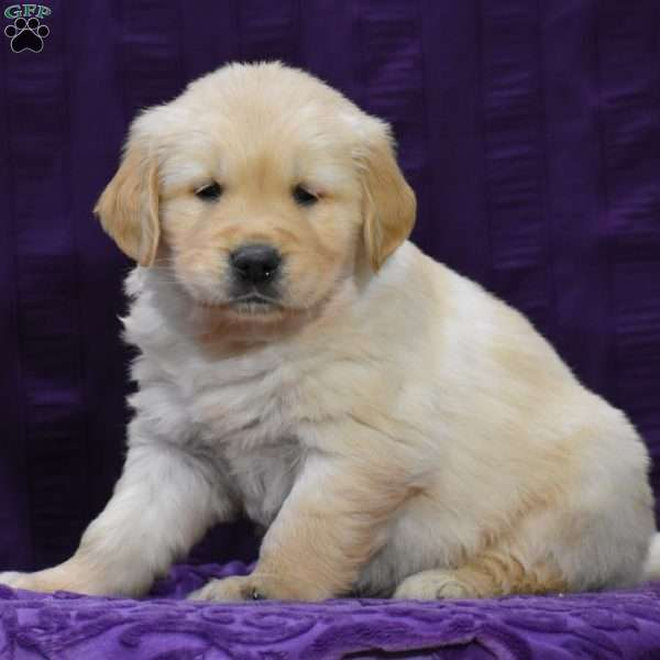 Freddy Golden Retriever Puppy For Sale In Pennsylvania