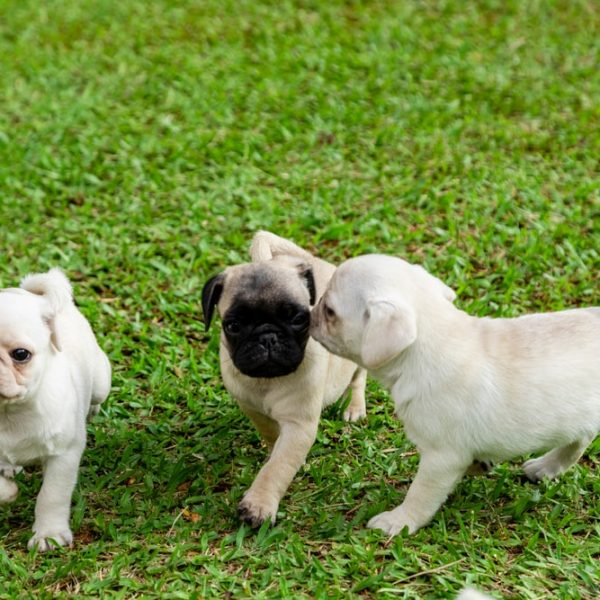 three pug puppies playing in grass
