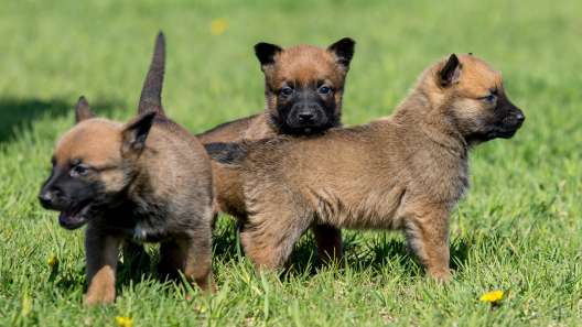 5 Things to Know About Belgian Malinois Puppies