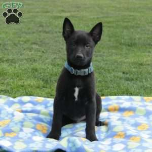 Belgian Malinois Puppies For