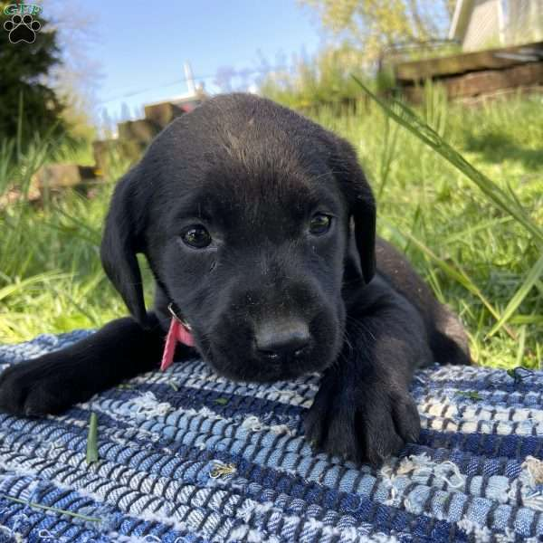 Cali, Black Labrador Retriever Puppy