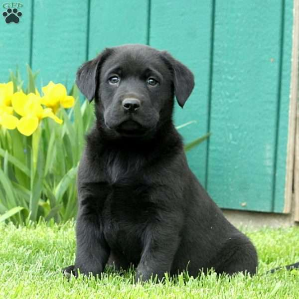 Drew, Black Labrador Retriever Puppy