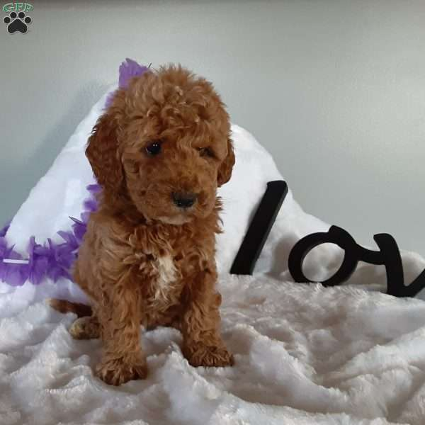 Ehster, Mini Goldendoodle Puppy