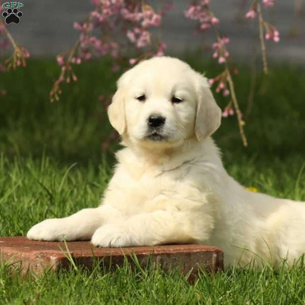 Jasper, English Cream Golden Retriever Puppy