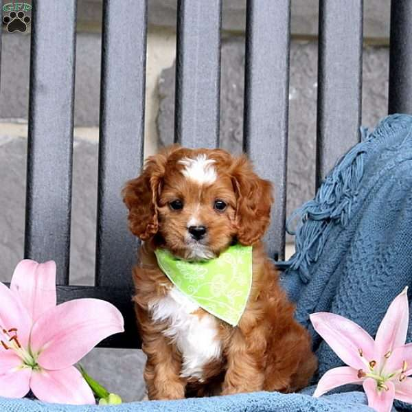 Jimmy Cavapoo Puppy For Sale In Pennsylvania