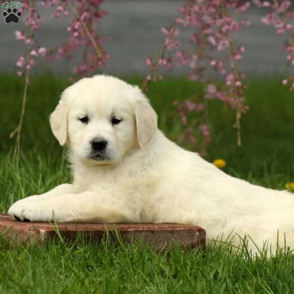 Jonovan, English Cream Golden Retriever Puppy