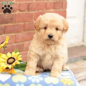 Eskipoo Puppies For