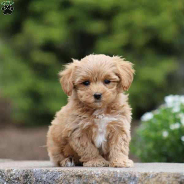 Lucy Maltipoo Puppy For Sale In Pennsylvania