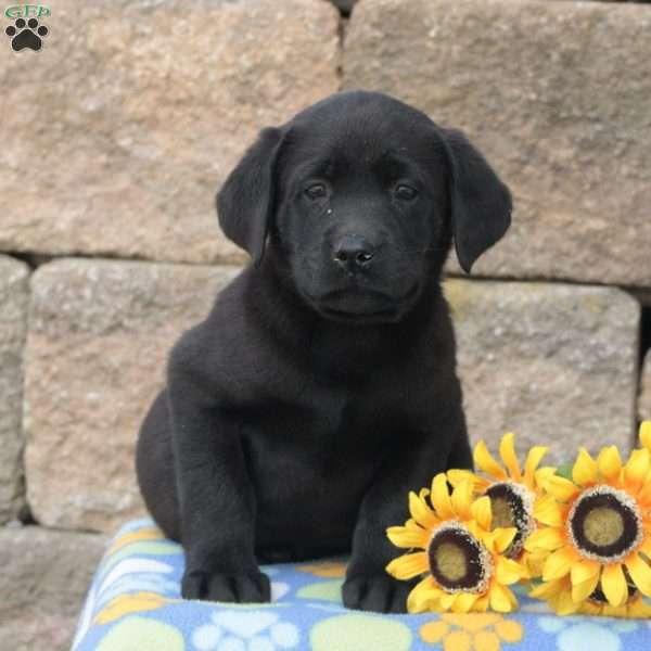 Mike, Black Labrador Retriever Puppy