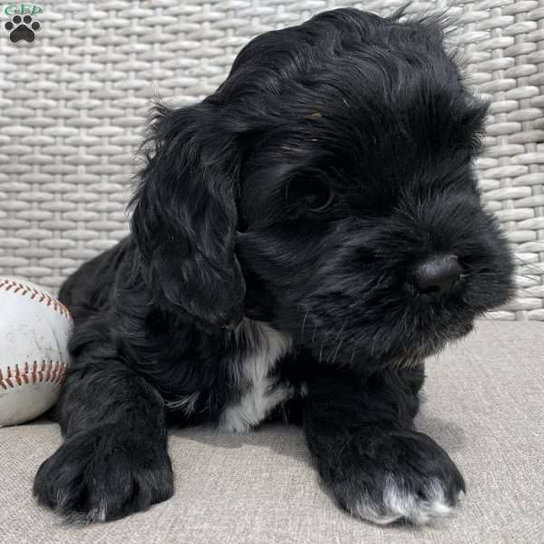 Paxton, Portuguese Water Dog Mix Puppy