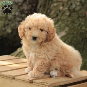 Bichon Poo Puppies For Columbus Ohio