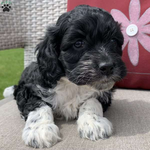 Pixie, Portuguese Water Dog Mix Puppy