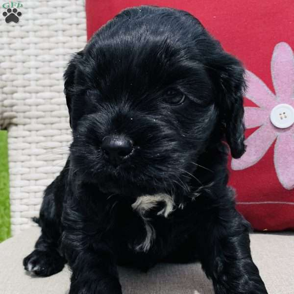 Poly, Portuguese Water Dog Mix Puppy