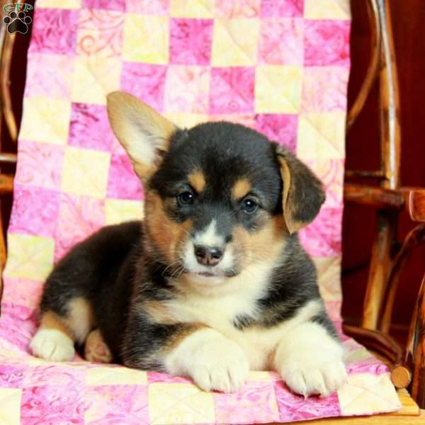 Tilly, Pembroke Welsh Corgi Puppy