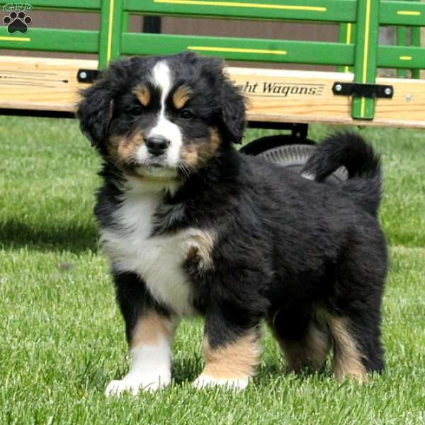 Tyson Bernese Mountain Dog Mix Puppy