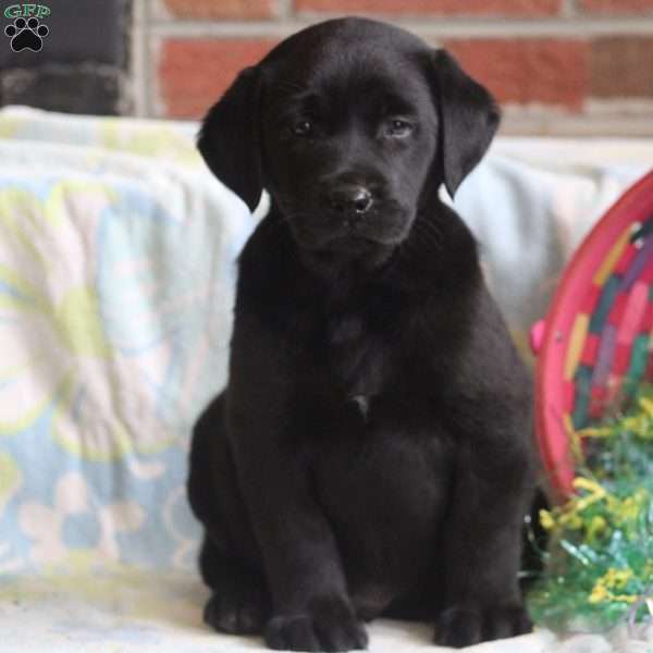 Victor, Black Labrador Retriever Puppy