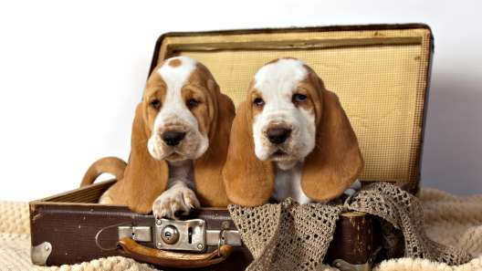 5 Things to Know About Basset Hound Puppies