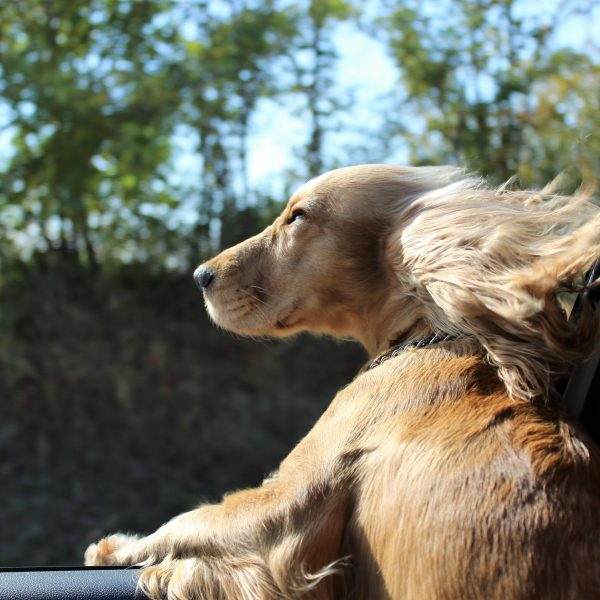 spaniel dog riding in a car with the window down