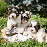 three biewer terrier puppies on a tree stump in the grass