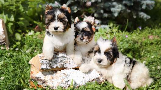 4 Things to Know About Biewer Terrier Puppies
