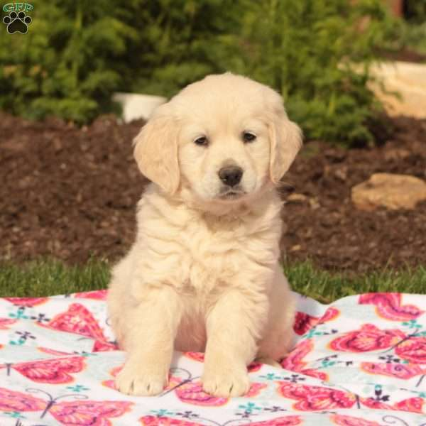 Casey, English Cream Golden Retriever Puppy