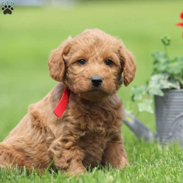 Chase, Mini Labradoodle Puppy