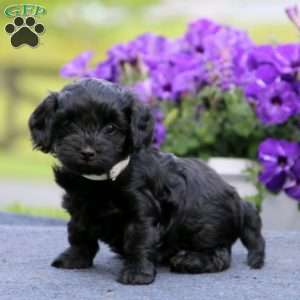 Morkie Poo Puppies For Sale Morkie Poo Puppies Greenfield Puppies