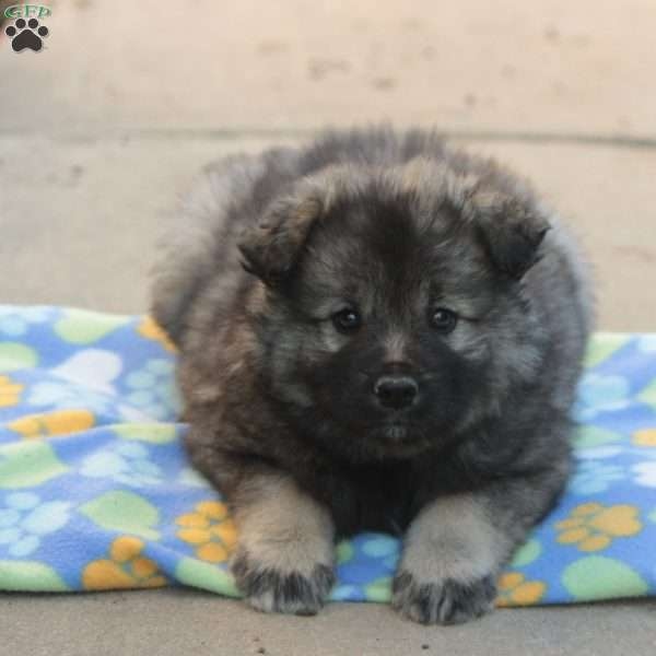Easton - Keeshond Mix Puppy For Sale in Pennsylvania