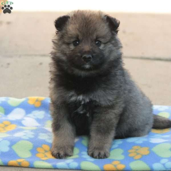 Eric - Keeshond Mix Puppy For Sale in Pennsylvania