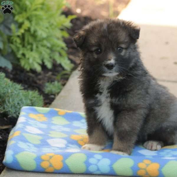 Ezra - Keeshond Mix Puppy For Sale in Pennsylvania