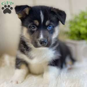 Siborgi Horgi Puppies For Sale Greenfield Puppies