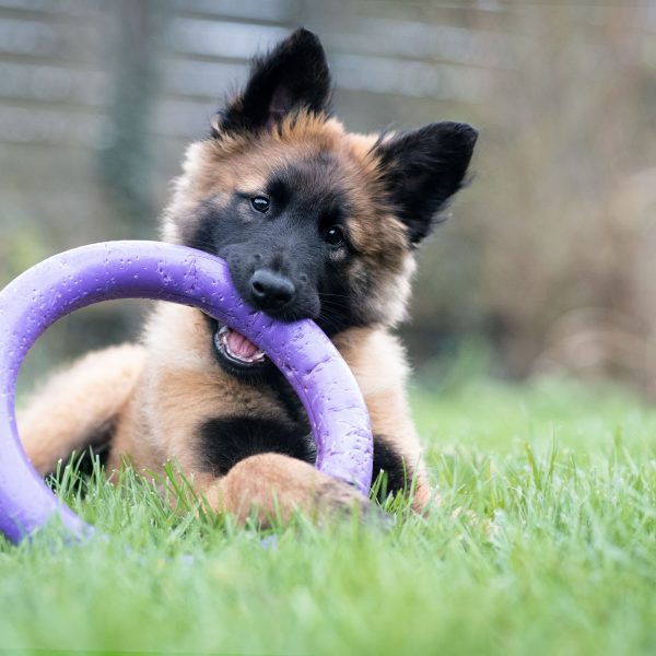 belgian tervuren puppy playing with a round purple toy