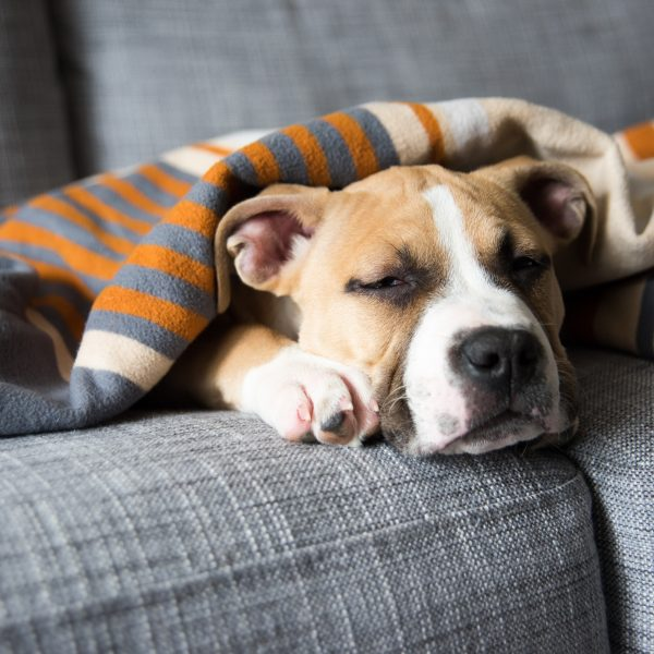 bulldog mix puppy sleeping under a blanket on a couch