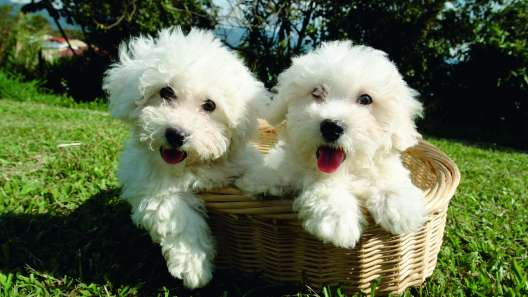 5 Things to Know About Bichon Frise Puppies