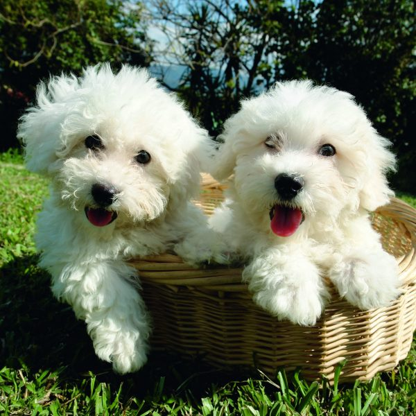 two bichon frise puppies in a basket