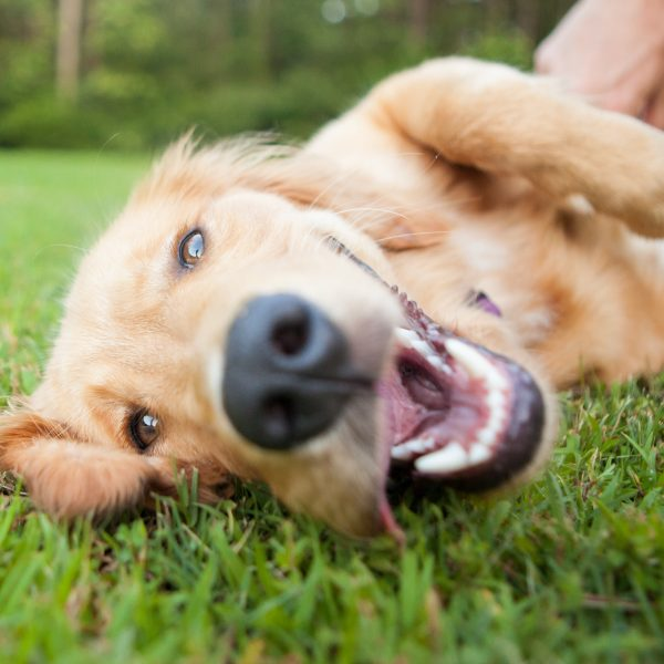 yellow lab rolling over in the grass