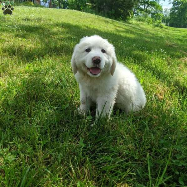 Bandit, Great Pyrenees Puppy