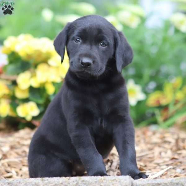 Becky, Black Labrador Retriever Puppy